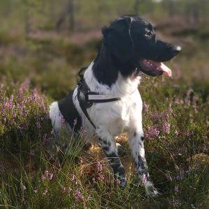 En svartvit hund sitter i ljungen