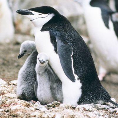 Pingviinejä Central Parkin -eläintarhassa New Yorkin -kaupungissa.