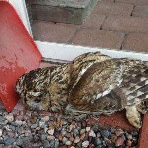 En död uggla liggande bredvid en röd spade och en glasdörr.