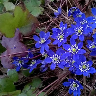 Sinivuokko kukassa