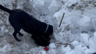 En hund gräver i marken efter droger.