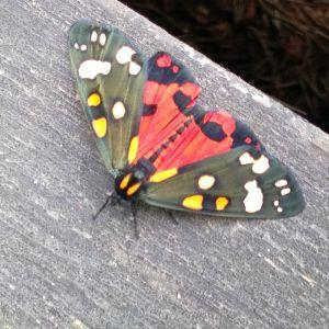 Berit på Kälkö hittade denna vackra fjäril på trappan, men hittar inget namn.