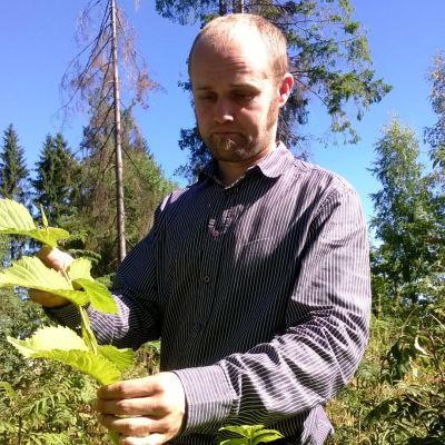 Metsäpäällikkö Markus Niemelä tarkastelee jalavan kasvua