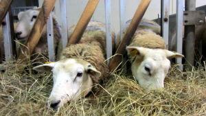 Lampaat syövät ruohoa.
