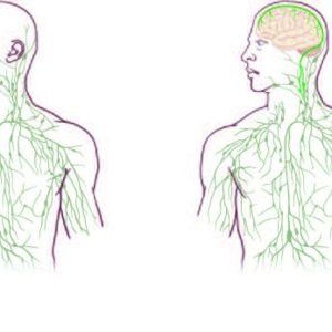 Till höger hur forskarna vid University of Virginia föreställer sig lymfsystemet hos människan.