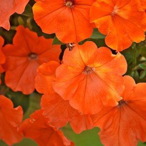 muuntogeeninen, oranssi African sunset -petunia