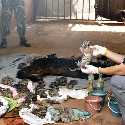 Thaimaalainen viranomainen pitää kädessään pientä kuollutta tiikerinpentua.
