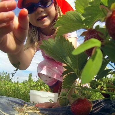 Tyttö kurottamassa kohti mansikkaa.