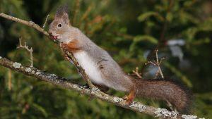 Orava nuolee oksaa.