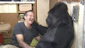 Robin Williams leker med gorillan Koko.