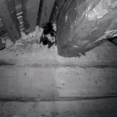 En fladdermuskoloni hängande från undertak fotograferad med IR-kamera