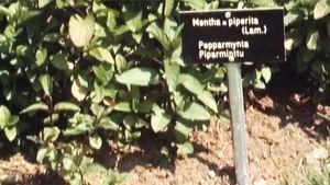 Pepparmynta, 1989