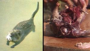 Koostettu Kesäkeittiö-ohjelman kuvista. Vasemmalla kuvaa luono-oppaasta, oikealla paistista.