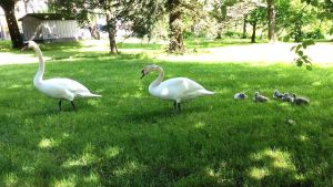 En svanfamilj med fem ungar på en gräsplan.