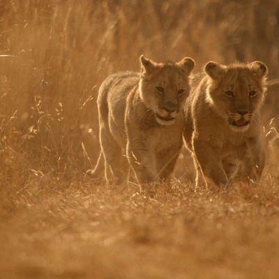 Zimbabwessa tehdään leijonien suojelutyötä.