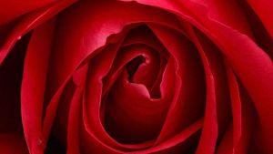 Mörkröd ros i närbild