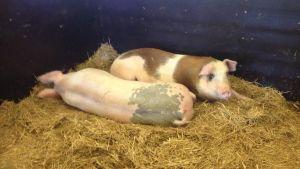 Välmående grisar på Fallkulla gård i Helsingfors.
