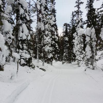 Latu-ura runsaslumisessa metsässä