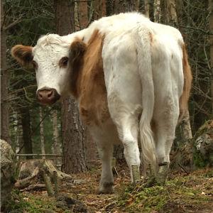 Lehmä parsinavetassa ja metsässä.