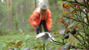 bärplockare i finlänsk skog