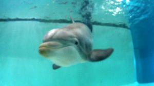 Delfin i Särkänniemi djurpark i Tammerfors