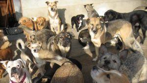 Hundar på Adina Olearus hundgård i Vulcana, Rumänien.