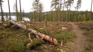 Granskog fälldes i Kyrkslätt