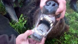 Björnens tänder var i dåligt skick.