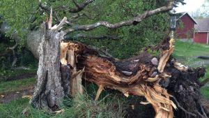 Träd föll i Hummeldal under måndagens åskväder