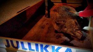 dött vildsvin på släpkärra