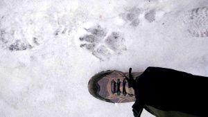 möjligt vargspår i snön.