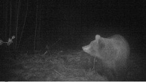 Björn som fångats på viltkamera i Purmo, Pedersöre.