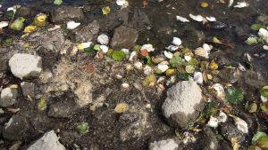 Döda musslor i Kumo älv vid Nakkila