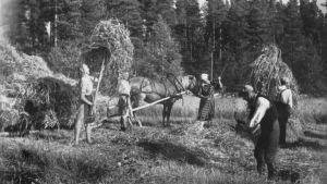 Ingermanlänningar i skördearbete i Vehmersalmi under fortsättningskriget.