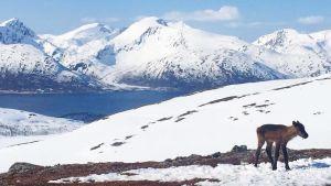 Renkalv framför snöiga berg och hav