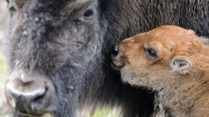 Bisonoxe med kalv