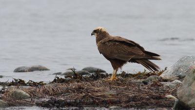 Ruskosuohaukka seisoo rannalla