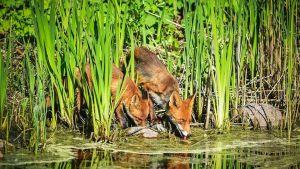 En räv med sin unge dricker vid strandbrynet.