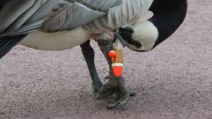 En kanadagås som försöker få loss en fiskelina som fastnat runt foten.