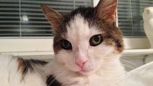 Lähes 20-vuotias Melli-kissa viettää eläkepäivä Joensuussa
