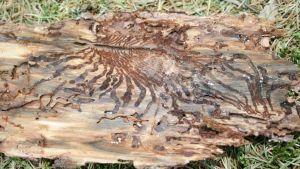 Mönster på barken från granbarkborrarna.