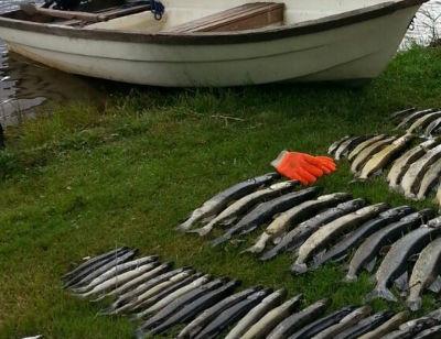 Döda fiskar från Ersösundet i Snappertuna