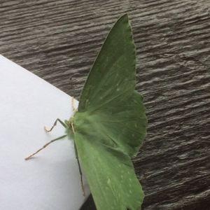 Vad är det här för en fjäril, vingbredd ca 5 cm? undrar Pippi i Bromarf.