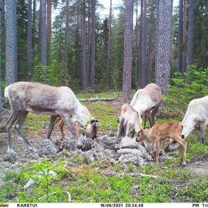 Metsäpeuravaatimet vasojen kanssa syömässä
