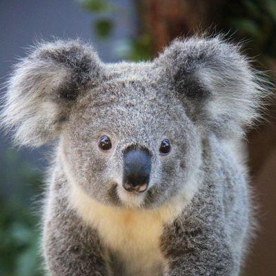Koala kävelee puunrunkoa pitkin kohti kameraa.