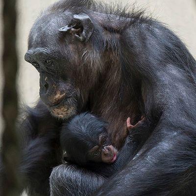 Simpanssiemo poikasensa kanssa Baselin eläintarhassa Sveitsissä 13. elokuuta 2014.