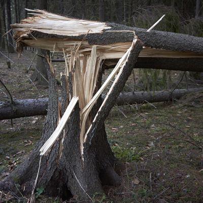 Kaatunut kuusipuu.