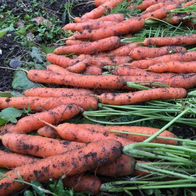 Vasta nostettuja porkkanoita naatteineen kasvimaalla.