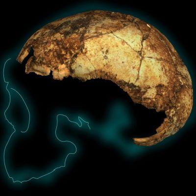 Kallokopan fossiili ja viiva, joka jäljittelelee kallon muita ääriviivoja.
