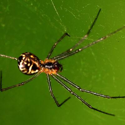 riippuhämähäkki seitissään